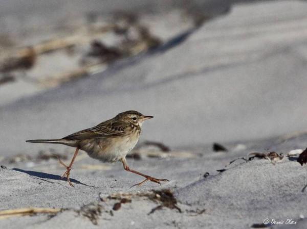 sjældne fugle i danmark